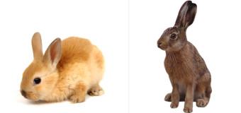 Różnica między królikiem a zającem
