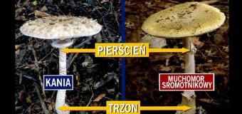 Różnice między kanią a muchomorem sromotnikowym