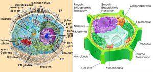 komórka zwierzęca a roślinna