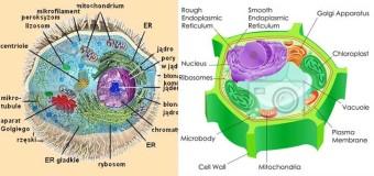 Różnice między komórką zwierzęcą a roślinną