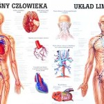 układ krwionośny a limfatyczny