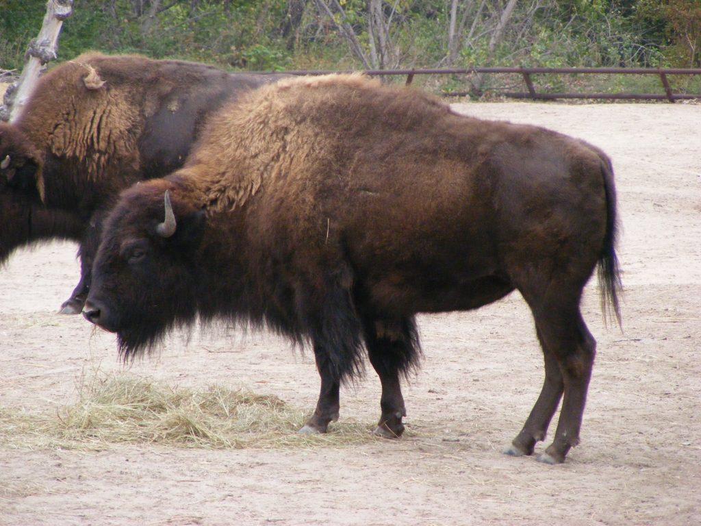 różnia między żubrem a bizonem